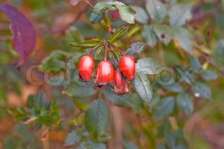 berries of wild rose are in natural conditions