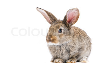 one young light brown rabbits with long ears standing isolated on white