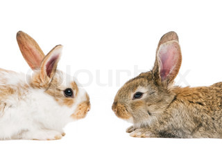 two young light brown rabbits with long ears face to face isolated on white
