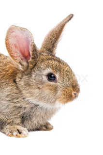 close-up of one young baby brown rabbits with long ears isolated on white
