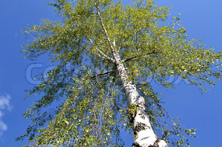 beautiful birch tree against the blue sky