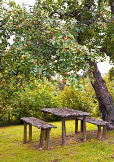 røde æbler på æbletræ