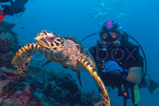 The hawksbill turtle (Eretmochelys imbricata) swimming away from diver, Maldives