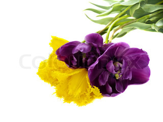 beautiful colorful yellow and purple tulips isolated over white