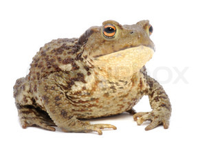 Brown Frog Isolated on White Background