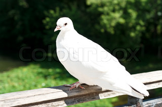 White Dove in Moscow, Russia