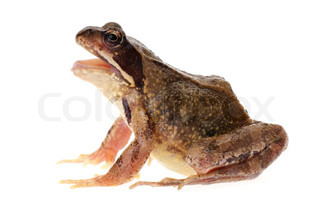 Common european frog, Rana temporaria, seen in profile with open mouth, as if it is croaking, speaking or singing. Isolated on white