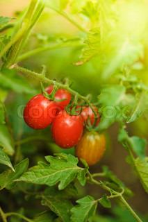 voksende tomater , lavvandede dybt i marken , selektiv fokusering