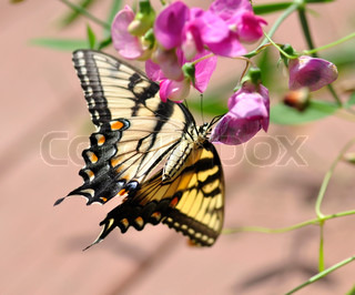 a yellow butterfly on sweet peas flowers