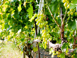 bunch of white grapes in wine region Etna