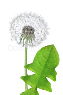 Dandelion flower isolated on a white background