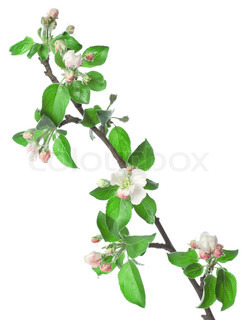 Apple branch in blossom isolated on a white background
