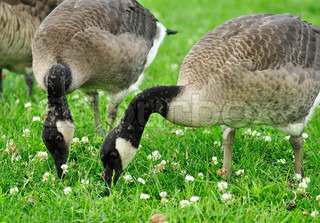 two young canada geese feeding in the park