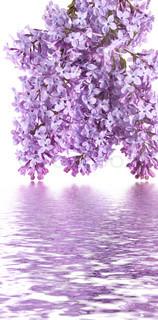 violette knopper af lilla afspejles i vand