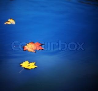 autumn maple leaves on water