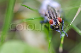 Head of a red eyed fly