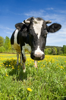 The adult black-and-white cow stands on a green meadow with yellow flowers and looks in a shot
