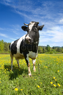 The adult black-and-white cow stands on a green grass with yellow flowers
