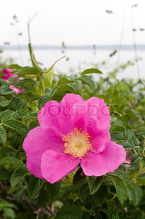 Rugosa roses is native to New England in addition to China and Japan