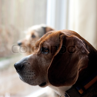 Two dogs with separation anxiety looking out the window and eagerly await the return of their ownersShallow depth of field