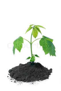 fresh green plant in dirt isolated over white background
