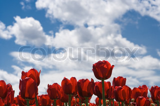 red tulip under sky with clouds
