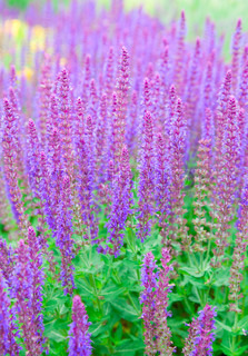 salvia officinalis. field of sage