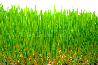 Germinating grains of oat Background from a green grass