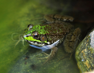 Common water frog in a water