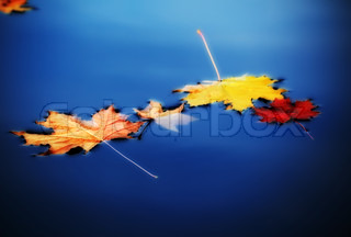 yellow autumn maple leaves on water
