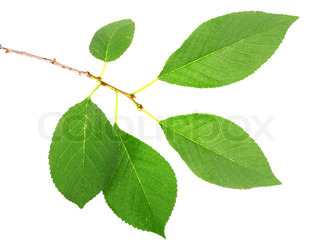One branch with green leaf of cherry-tree Isolated on white background Close-up Studio photography