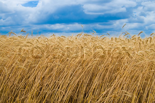 field of ripe wheat gold color south Ukraine