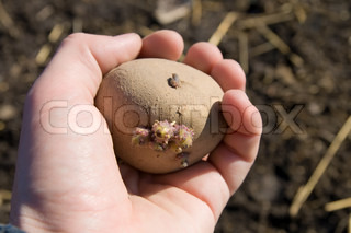 hand with one potato above earth