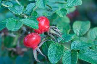 Dog Rose with red fruits on the bush