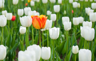 One red and yellow tulip among whites