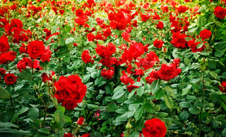 green field full of red wild roses