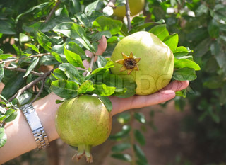 Growing of pomegranate Green fruit in the hand on pomegranate tree