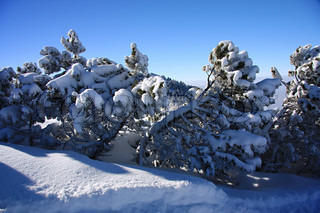 Pine trees covered with snow in the mountains