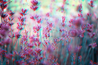 beautiful 3D anaglyph stereo image of a lavender field Great agriculture, SPA, medical concept for diverse advertising materials To view this iage you need a pair of stereo glasses with cyan and red glass colors