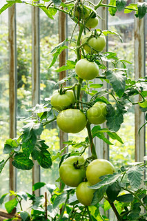 Big green tomatoes growing in a greenhouse