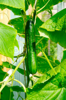 Big green cucumber growing in a greenhouse