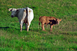 cow and calf in a prairie - french alps