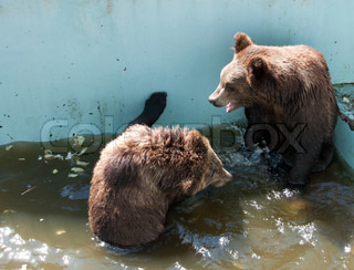 Two young brown bears playing in the water