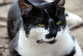 portrait of calm green-eyed black and white cat