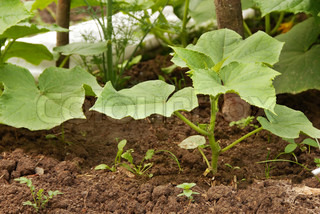 leaves of growing marrow squash plant in garden