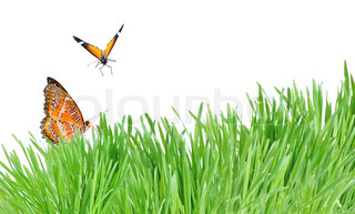 Green grass and two orange butterflies isolated on the white background