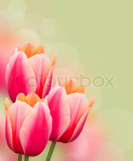 Beautiful pink tulips border on green background, postcard