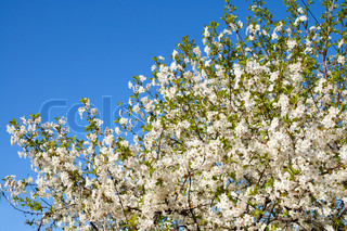 branches with white flowers of cherry with blue sky background