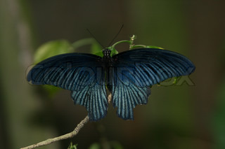 Beautiful dark-blue butterfly on branch