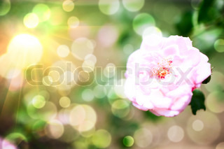 background with rose flower